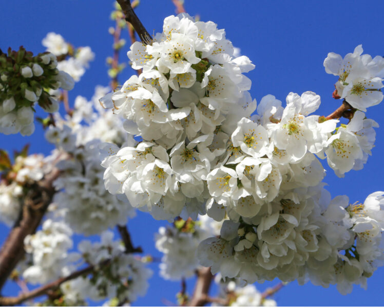 Côteaux du Ventoux cherries now protected by PGI designation