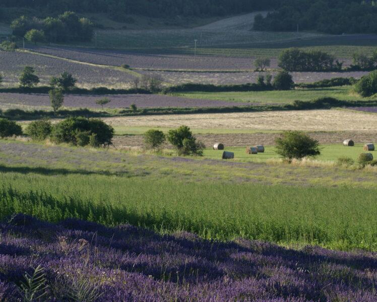Latest lavender news at Aroma Plantes